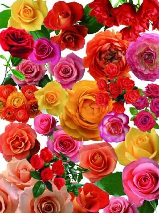 噴繪玫瑰花圖片